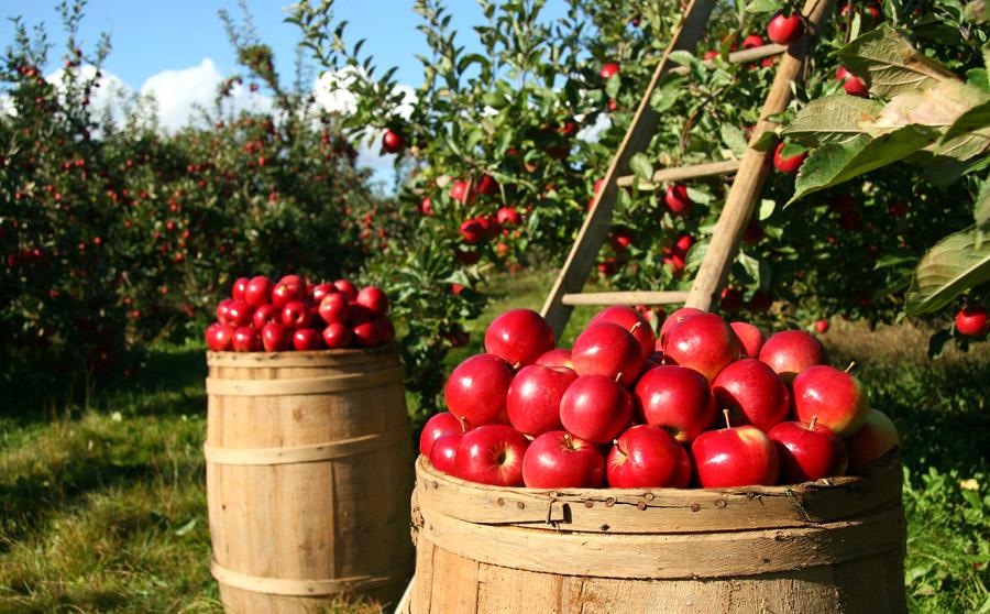 Pommiers et tonneaux de pommes rouges
