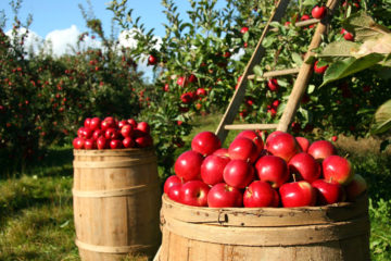 Pommes et pommiers